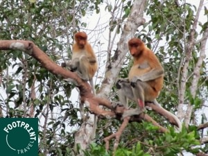 Indonesië reizen - Kalimantan - Neusapen in Tanjung Puting