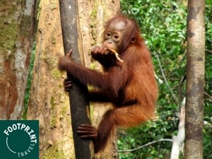 Indonesië reizen - Kalimantan - Orang-oetans spotten in Camp Leaky
