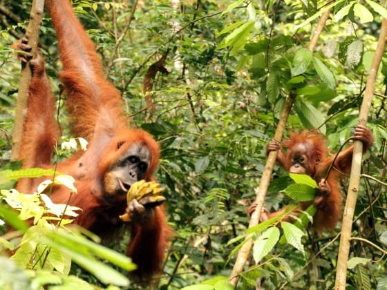 Orang-oetans in Gunung Leuser Nationaal Park